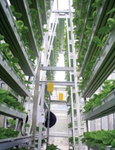 חקלאות עירונית וורטיקלית בסינגפור